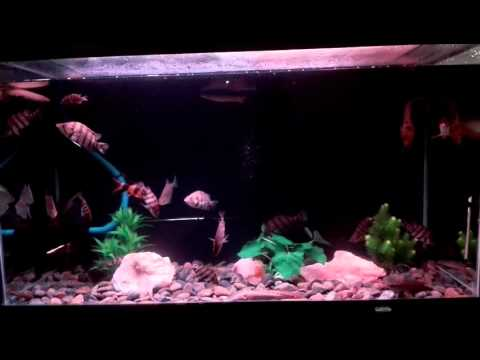 Ken nhi: hồ cá rồng cộng đồng.