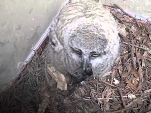Hungry Great Horned Owl baby - 4/9/12