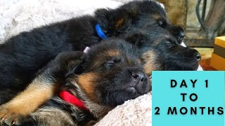 German Shepherd Puppies Growing Up
