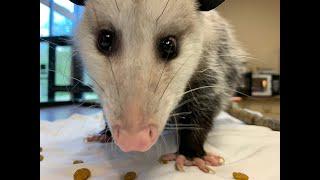 Meet the Virginia Opossum, with Katelyn Moore, Teacher Naturalist at Lichterman Nature Center