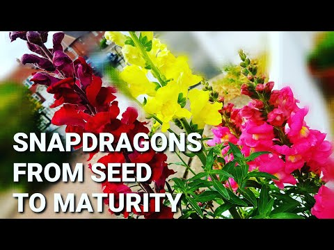 How to grow Snapdragons (Antirrhinum majus) from seeds ~ Full tutorial from seed to mature plants