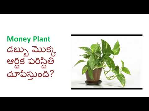 Will Money Plant Show Future Financial Stability ?