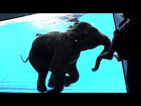 Thai zoo offers front-row view of elephants swimming