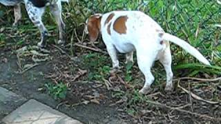 Dachshund Beagle Mix Walks After Disc Rupture With Out Surgery