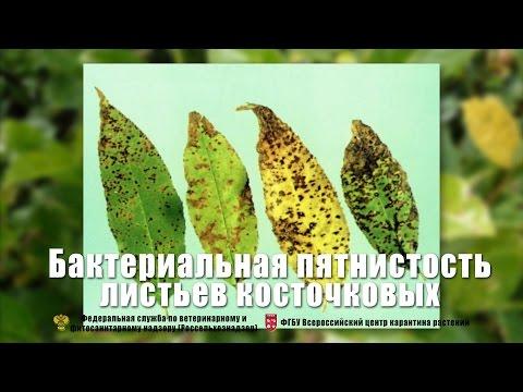 Бактериальная пятнистость листьев косточковых