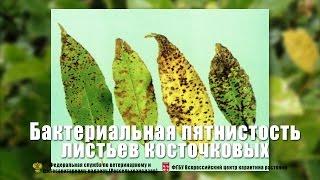 видео Проблема с листьями черешни