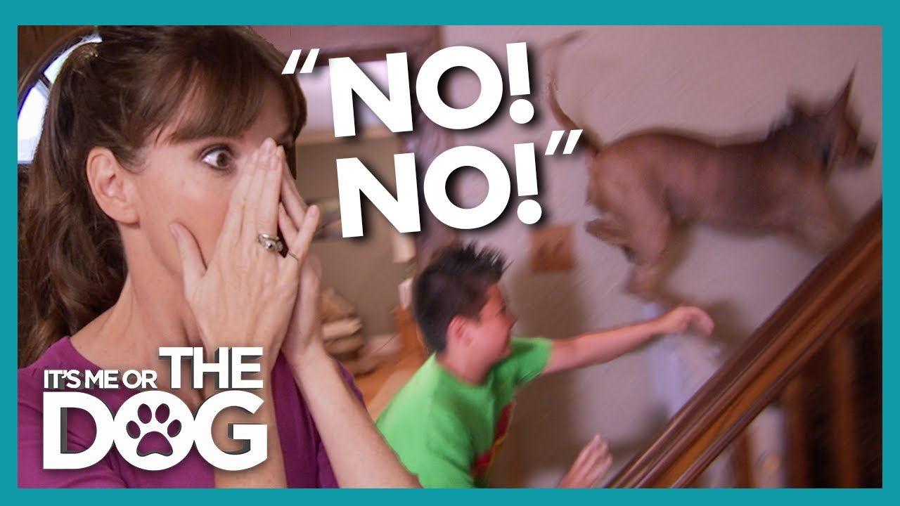 Out of Control Dog Tears Through House and Bullys their Owner! | It's Me or the Dog