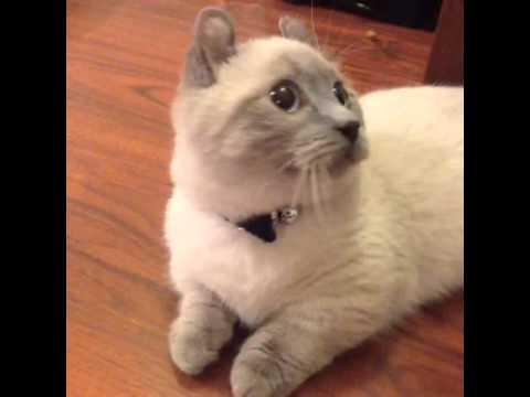 Midget Cats Pictures