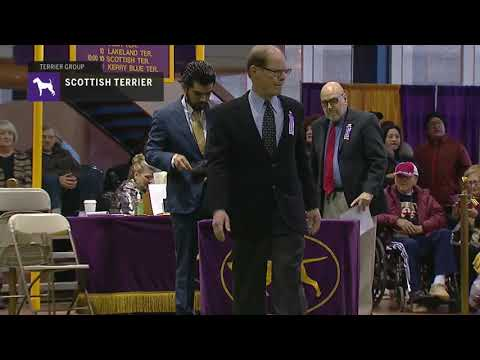Scottish Terriers | Breed Judging 2019
