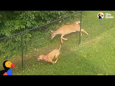 Dog and Deer Caught Playing Together Along A Fence | The Dodo