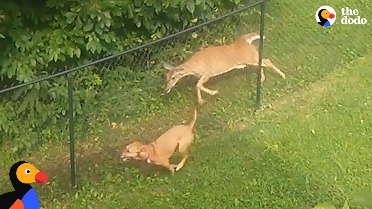 Dog and Deer Caught Playing Together Along A Fence