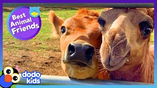 Cow And Camel Dance Like Total Goofs | Best Animal Friends | Dodo Kids