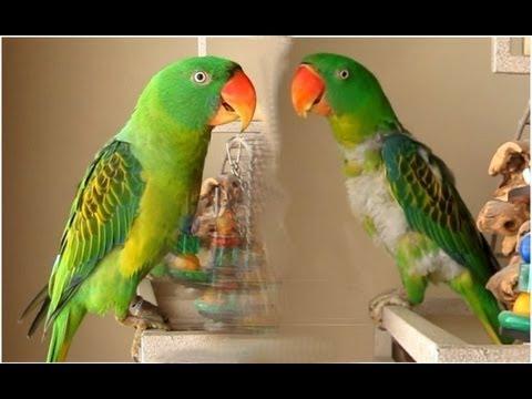 Our pet great billed parrots doovi