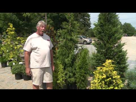 Landscaping 101 With Kurt Lovell - Evergreens