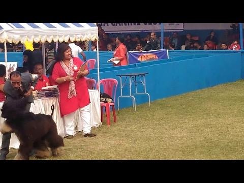 Afhgan hound Kolkata Dog Show 2017