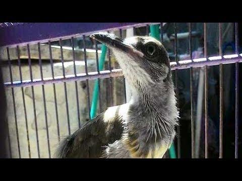 Burung Koak Kikok Gacor Suara Lantang