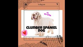 clumber spaniel puppies  clumber spaniel  clumber spaniel personality