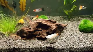 Запустил аквариум 60л быстро на старой воде. Макропод, скалярии, гуппи, гурами, анцитрус коридорасы.