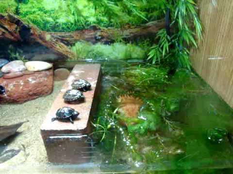 Cute Musk Amp Mud Turtle Babies Doovi