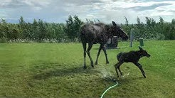 Moose and calf in the sprinkler