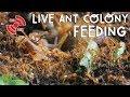 Live ant colony feeding mp3