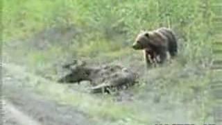 Repeat youtube video BEAR EATS A MOOSE ALIVE !
