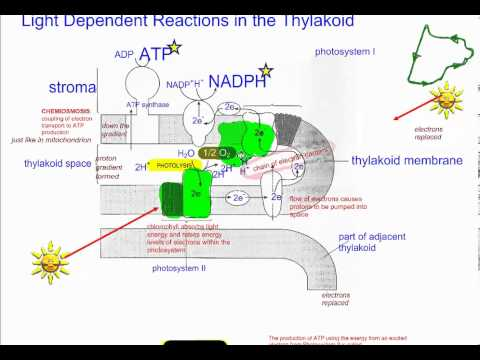 Photosynthesis part 2 light dependent reactions non cyclic ib photosynthesis part 2 light dependent reactions non cyclic ib biology ccuart Choice Image