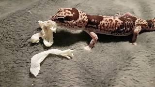 Снимаю шкуру с геккона гемитеконикса