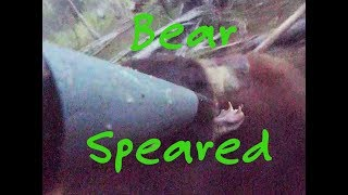Spearing A Massive Bear