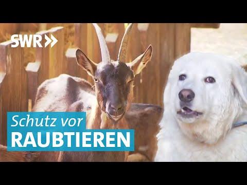 Bedrohung Wolf: Herdenschutzhunde