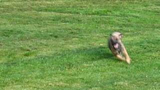 A Border Terrier Running