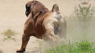 BEST OF BOERBOEL  THE SUPER POWER DOG
