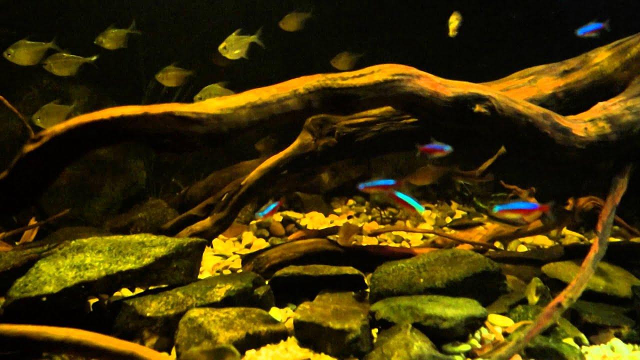 Südamerika 1000L Salmler  Aquarium  YouTube