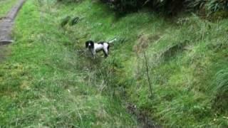 English Springer Spaniel In The Mud