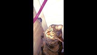 слабонервным не смотреть  Кошка играется живой игрушкой