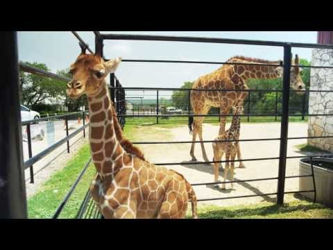 Thumbnail: Natural Bridge Wildlife Ranch - Giraffe Twins Half Birthday