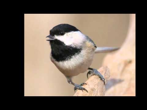 Sounds of a Black-Capped Chickadee -- 2/23/2016