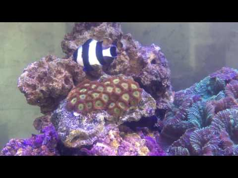 Four Stripe Damsel Wants To Play With Bicolor Blenny