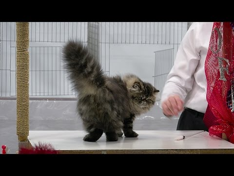 Persian kitten class judging, Set 2, Red Show, CFA International 2015