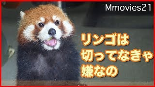 リンゴは切ってほしい円実お嬢様 レッサーパンダ Red Panda
