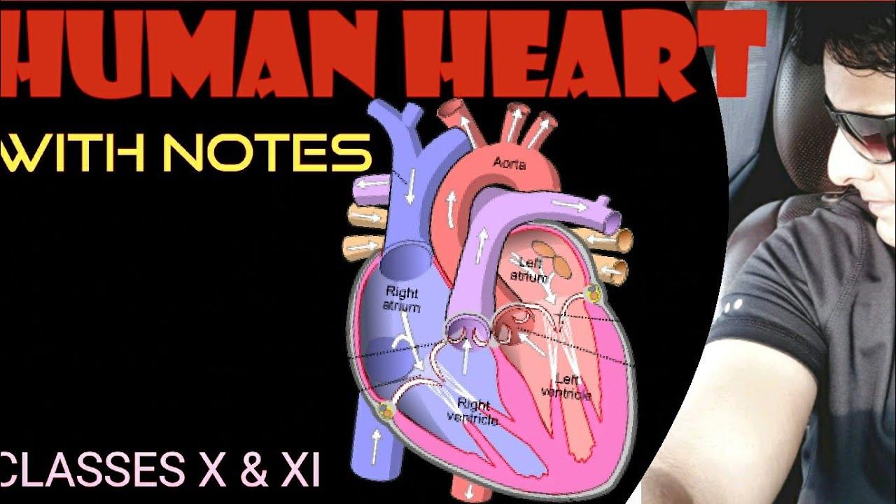 HUMAN HEARTCLASS X/ class x biology/oxygenated blood ...