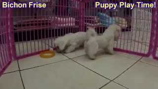 Bichon Frise, Puppies, For, Sale, In, Lexington, County, Kentucky, Ky, Bowling Green, Owensboro, Cov