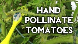 How to pollinate tomatoes by hand & get Huge Tomato Yields
