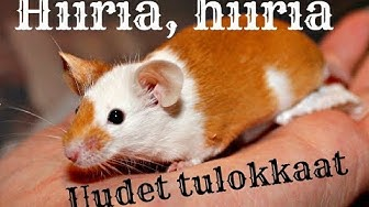 Uudet hiiret Jyväskylästä