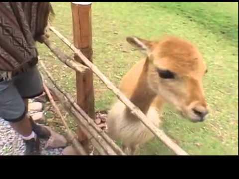 Альпака - в горном Перу. Небольшая подборка видео роликов об Альпаке.