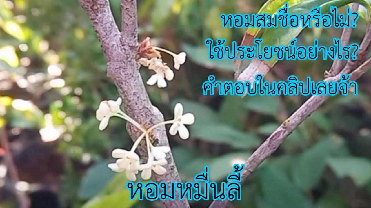 หอมหมื่นลี้ ไม้ดอกหอม มากสรรพคุณ วรากรสมุนไพร โทร 0616498997