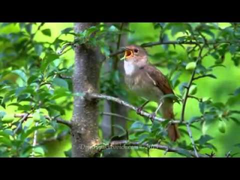 Merdunya Suara Burung Nightangle Saat Berkicau