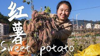 農村婆媳下地挖地瓜,挖開一看結這麼大,直呼今年地瓜大豐收|Dig a sweet potato, A good harvest of sweet potatoes