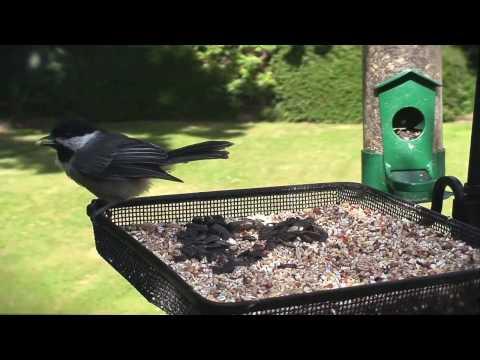 Black-capped chickadee - Birds of British Columbia