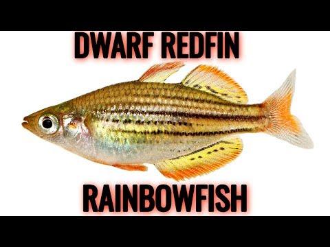 Redfin Dwarf Rainbowfish Melanotaenia Maccullochi